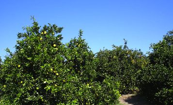 orange grove.jpg